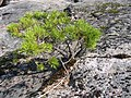 Pine-starved-into-dwarfed-growth FI-EU 2007-Aug-10 by-RAM.jpg