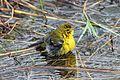 Pine Warbler - Dendroica pinus, Babcock-Webb Wildlife Management Area, Punta Gorda, Florida.jpg