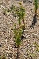 Pineapple-Weed (Matricaria discoidea) - Kitchener, Ontario 2019-07-28.jpg