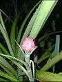 Pineapple flower @home.jpg