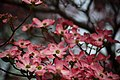 Pink-dogwood-bokeh - West Virginia - ForestWander.jpg