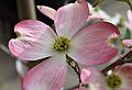 Pink Dogwood Flower.JPG