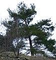 Pinus brutia Cyprus1.jpg