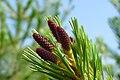 Pinus monticola conelets.jpg