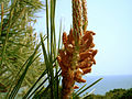 Pinus pinaster male cor.jpg