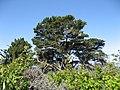 Pinus radiata Lobos.jpg