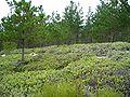 Pinus radiata youngtrees Carmel.jpg