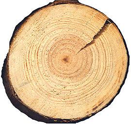 Pinus silvestris cross beentree.jpg