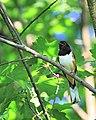 Pipilo erythrophthalmus -Howard County, Maryland, USA -male-8.jpg