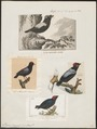 Pipra pareola - 1700-1880 - Print - Iconographia Zoologica - Special Collections University of Amsterdam - UBA01 IZ16600177.tif