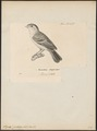 Pipra pileata - 1700-1880 - Print - Iconographia Zoologica - Special Collections University of Amsterdam - UBA01 IZ16600229.tif