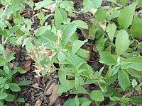 P. trinervia, stevia