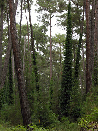Montane ecosystems - Pine forest in Abkhazia