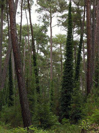 Pitsunda - Image: Pitsunda Pine Grove