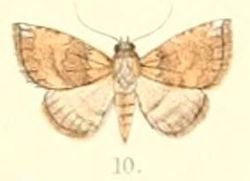 Pl.6-10-Autoba obscura (Moore, 1882) (Selenis).JPG
