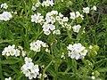 Plagiobothrys hirtus.jpg
