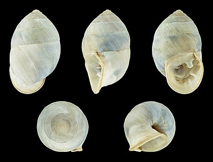 A shell of Plagiodontes daedaleus forma minor