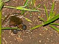 Plain Grass Frog (Ptychadena anchietae) with lateral sacs inflated (13760742813).jpg