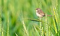 Plain Prinia (EXPLORED!) (6948817229).jpg