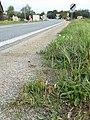 Plantago coronopus sl62.jpg