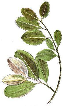 Lista de plantas medicinales de las rep blicas oriental y - Lista nombre arbustos ...