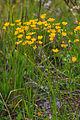 Plants from Passo Pordoi 13.jpg
