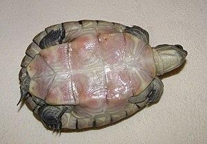 Cuban slider - Image: Plastron de Trachemys decussata angusta