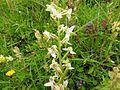 Platanthera chlorantha 04.jpg