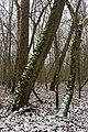 Platanus occidentalis - Flickr - aspidoscelis.jpg