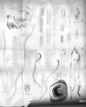 Tapeworms Plate IV engraving by William Miller...