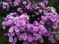 Plate bande de fleurs mauves.jpg