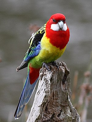 Parrots of New Zealand - Image: Platycercus eximius The Briars 8 crop