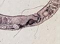Pleioplana atomata (YPM IZ 073711) 05.jpeg