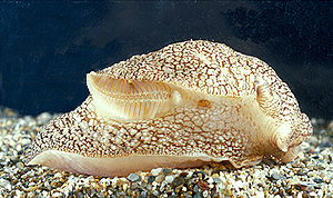 Ctenidium (mollusc) - A live individual of Pleurobranchaea meckelii; the ctenidium is visible as a feather-like structure in this view of the right-hand side of the animal