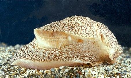 Pleurobranchaea meckelii