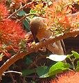 Ploceus velatus by Combretum microphyllum, Manie vd Schijff BT, a.jpg