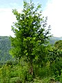 Podocarpus Coonoor ph 01.jpg