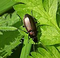 Poecilus sp. - Flickr - gailhampshire (3).jpg