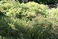 Pogonatherum paniceum 1zz.jpg