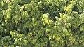 Polyalthia Longifolia Evergreen Tree (27550013).jpeg