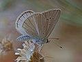 Polyommatus menalcas.jpg
