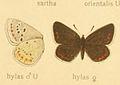 Polyommatusdorylas2.jpg