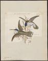 Polytmus quadricolor - 1820-1860 - Print - Iconographia Zoologica - Special Collections University of Amsterdam - UBA01 IZ19100219.tif