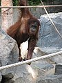 Pongo pygmaeus abeli - Hamburg, Tierpark Hagenbeck.jpg