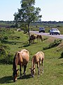 Ponies grazing by the road, Whitten Bottom, New Forest - geograph.org.uk - 211763.jpg