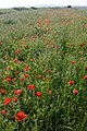 Poppies Beside Wainway Wall - geograph.org.uk - 459237.jpg