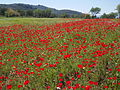 Poppy field, Lesvos, Greece, 16.04.2015 (16687685144).jpg