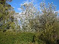 Populus alba (5001811376).jpg