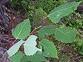 Populus grandidentata 1-jgreenlee (5098071162).jpg