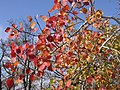 Populus tremula fall leaves.jpg